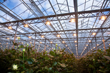 Flower cultivation under heat lamps